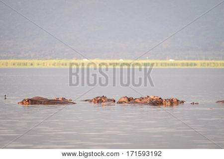 Hippopotamus Family Resting In A Lake, Nairobi National Park, Kenya