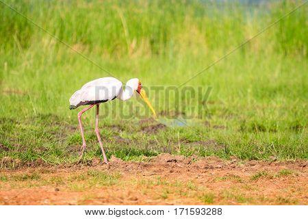 Yellow Billed Stork In Tsavo West National Park