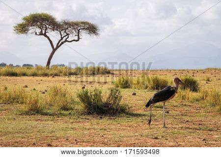 Very Big Birds Called Marabous