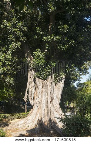 Sevilla (Andalucia Spain): old big tree in the park neat the Alcazar