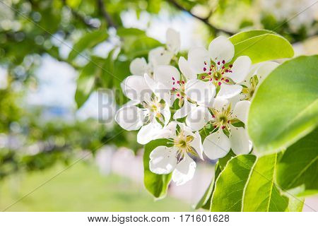 Natural spring background with blooming plum tree. Beautiful flowers in sunny day.