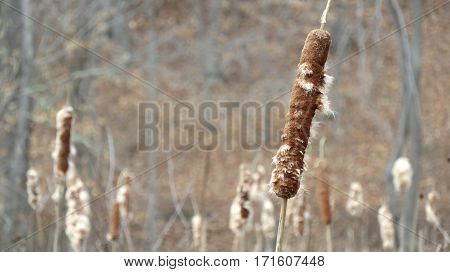 Several cattails growing wild in a pond