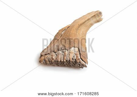 Mammoth tooth isolated on a white background.
