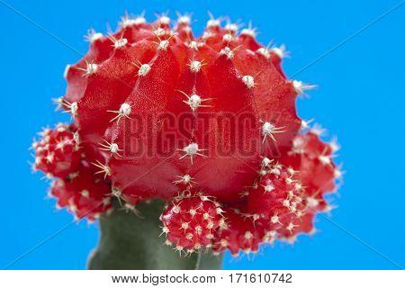 Cactus gymnocalycium mihanovichii variegata , Close up