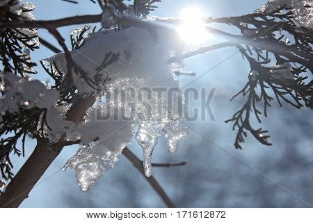 Branch, snow and sun in winter - close up