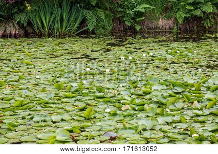 Green Lily Pads with Blooms in a Garden Lake