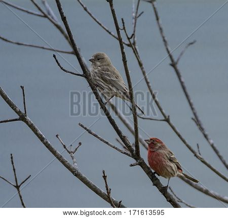 A pair of Purple Finches (Haemorhous purpureus) sitting in a bare tree during the winter in Carroll County Maryland, USA.