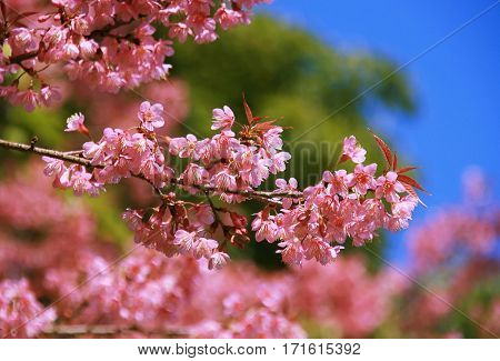 Cherry Blossom Thai's Sakura