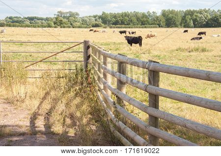 Summertime herds of cattle in the meadows of England
