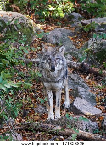 Grey wolf standing in vegetation its natural habitat