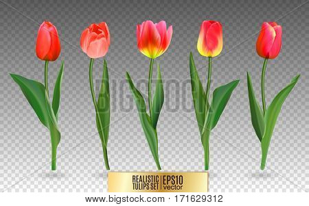 Realistic vector tulips set. Not trace. The blank for your design. Red tulips flowers on transparent background.