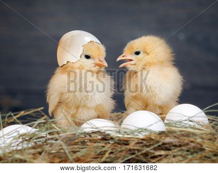 Newborn Chicks. Orange Chicks communicate with each other. Hay white eggs. Shell