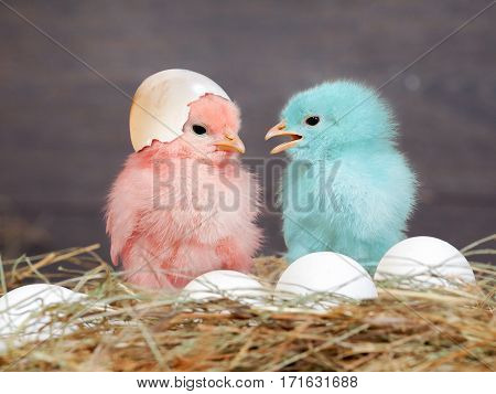 Chickens colored babies. Pink and blue Chicks communicate with each other. Hay white eggs. Shell