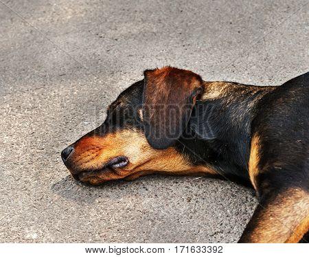 Drifter yellow and black dog sleeping on asphalt