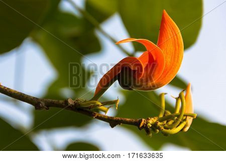 Beautiful orange flower and yellow stamen on green leaves background in the garden.
