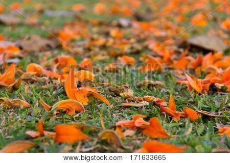 selective focus of flower Palas falling bastard Teak flowers on ground and orange blurred flowers at background.