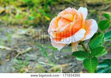 Close-up beautiful rose flower, holiday happy birthday card