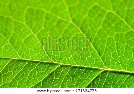 Green Leaf macro. Leaf texture or leaf background for design.