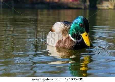 Close-up of a mallard duck. Mallard ducks