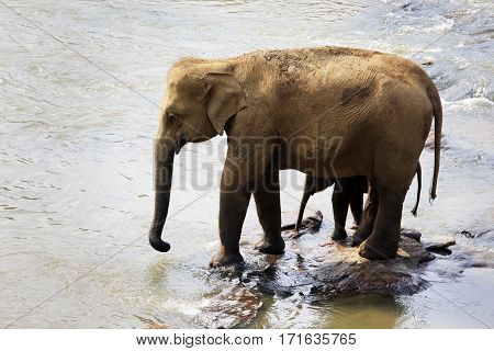 Family Of Indian Elephants.