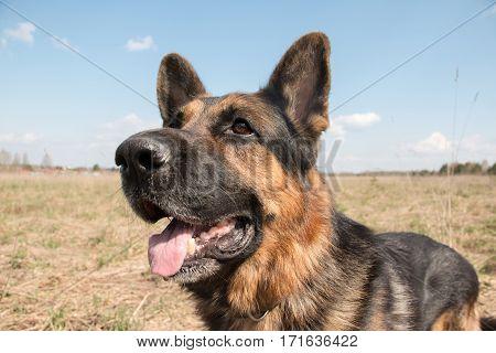 Dog German Shepherd In A Spring Day