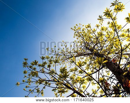 freshness leaves of cannonball tree on blue sky and sunlight background