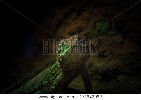 Close-up of a green lizard. Green lizards