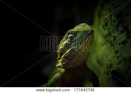 Close-up of a green lizard. Greem lizards