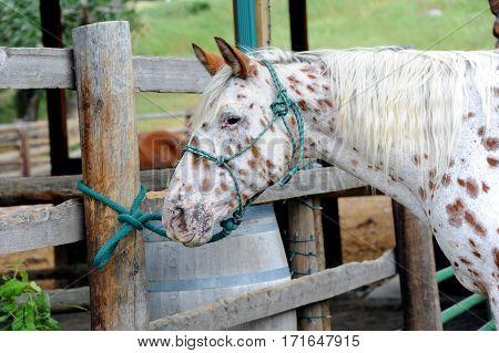 Patient Paint Horse
