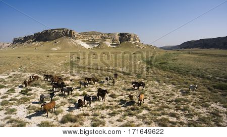 Aerial photo from flying drone of a thoroughbred horses are grazing on a rural pastures with dry climate near beautiful cliff rock in sunny summer day in Kazakhstan. Meadow with animals in countryside