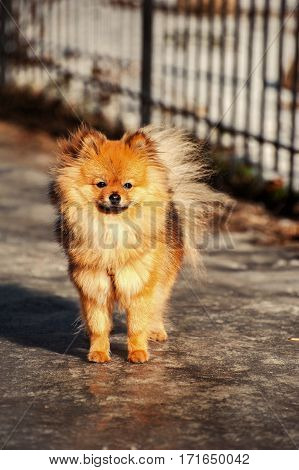 Pomeranian spitzdog is staying on the ice and looking in your direction on the street