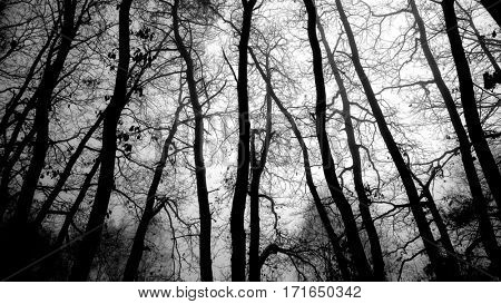 Silhouette of a misty forest. Natural background from wilderness. Black and white picture of young oaks in wetlands.