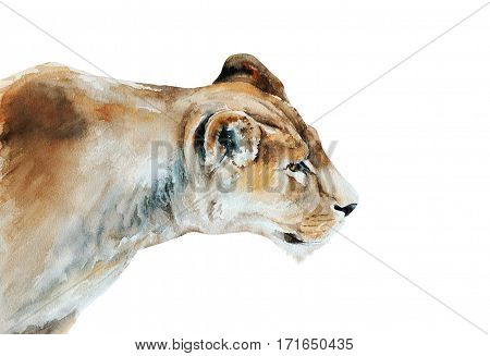 hunting lioness - isolated watercolor painting of african wildlife