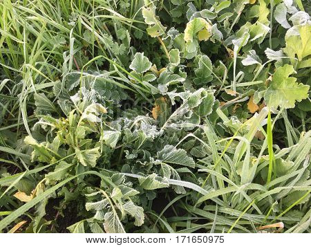 Grass, wild plants under the hoarfrost in the early morning. Winter, California. Green background.