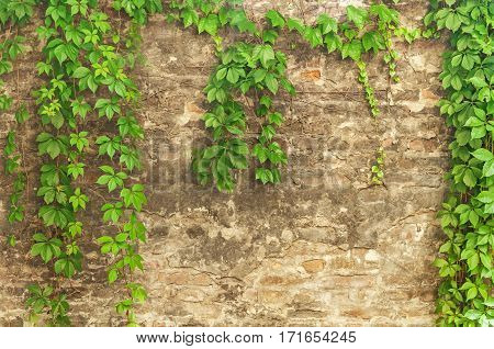 Green ivy creeper on brick cement wall