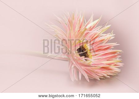 A gerbera in front of a delicate pastel colored background.