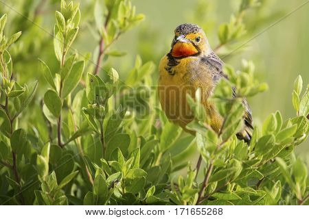 Orange throated Cape Long-claw walking in long green grass (Macronyx capensis)