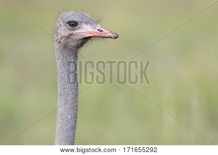 Ostrich close-up with a green in the background
