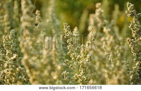 Wild Sagebrush Macro Photo. Wormwood. Absinthe Plant