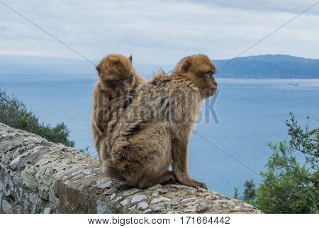 Two barbery apes sitting and grooming on a wall at the Gibraltar nature reserve against scenic seascape on a cloudy day.