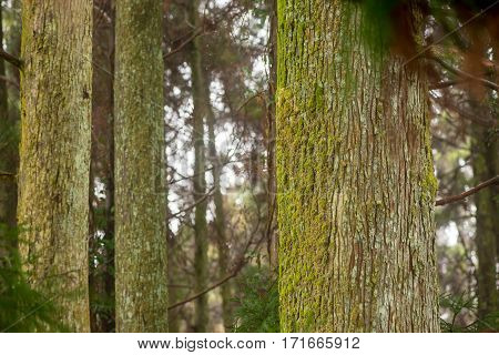Detail of multiple large tree trunks of pine trees covered in moss and lichen in the forests of Takachiho Miyazaki Japan. Nature and travel concept.