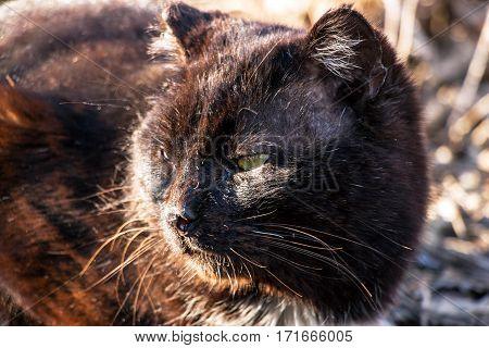 Old seasoned black cat facing left. View a full-grown beast