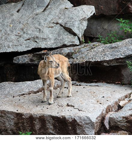 The young mountain goat costs on a rock ledge