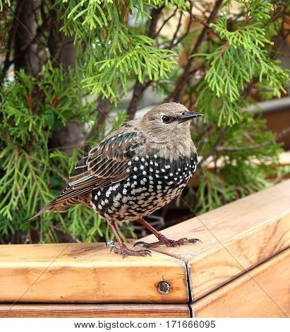 The young starling sits on a plate under a tree