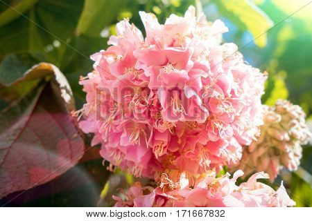 Colorful hydrangea in the sunset in the garden. Soft blurred flowers of a pink hydrangea, design, effects, toning