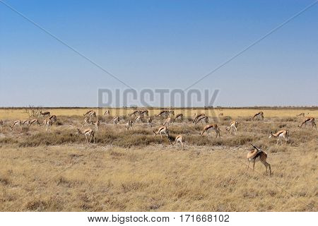 A group of springbok antelopes eating grass in Etosha national park - Namibia / Africa
