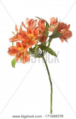 Orange Alstroemeria flower isolated on white background