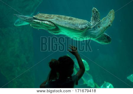 MADRID, SPAIN - JULY 6, 2016: Young visitor looks as the loggerhead sea turtle (Caretta caretta), also known as the loggerhead swimming in Madrid Aquarium, Spain.