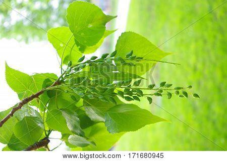 Nice pretty green poplar branch with fruits