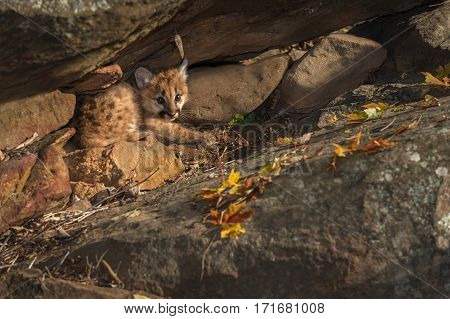Female Cougar Kitten (Puma concolor) Huddles in Rocks - captive animal